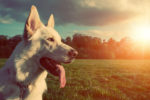 40347341 - gorgeous large white dog in a park, colorised image